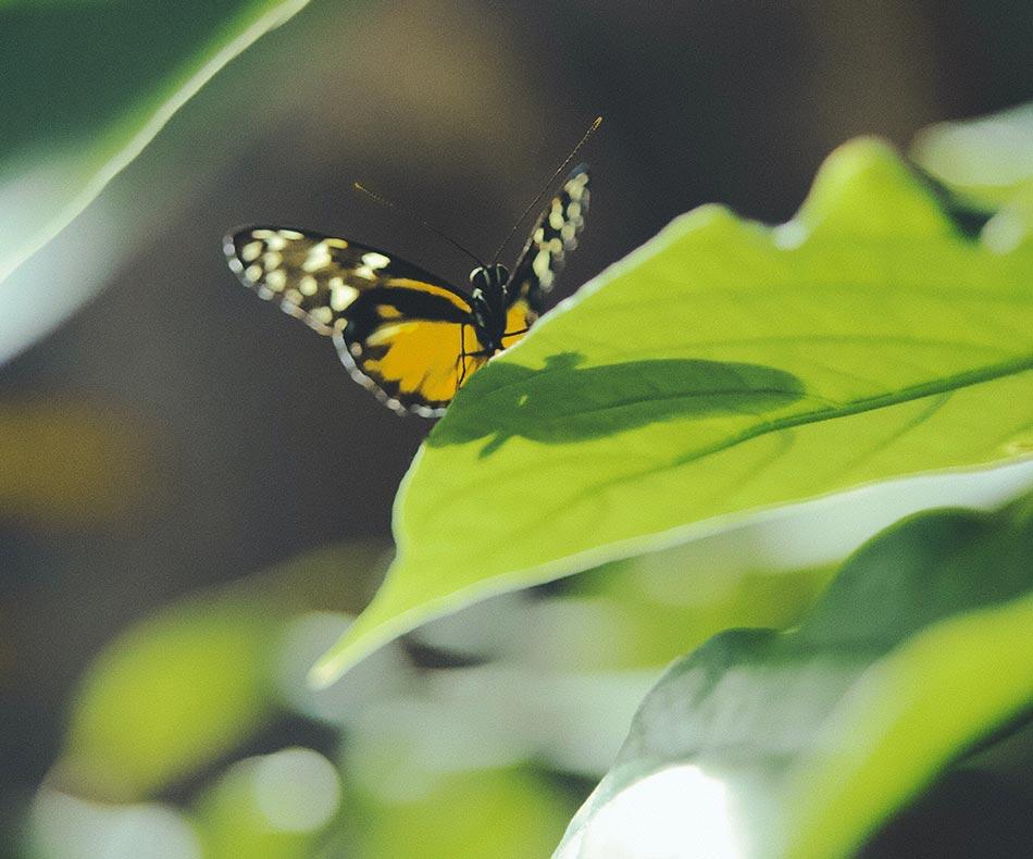 Orang Schwarzer Schmetterling auf einem grünen Blatt